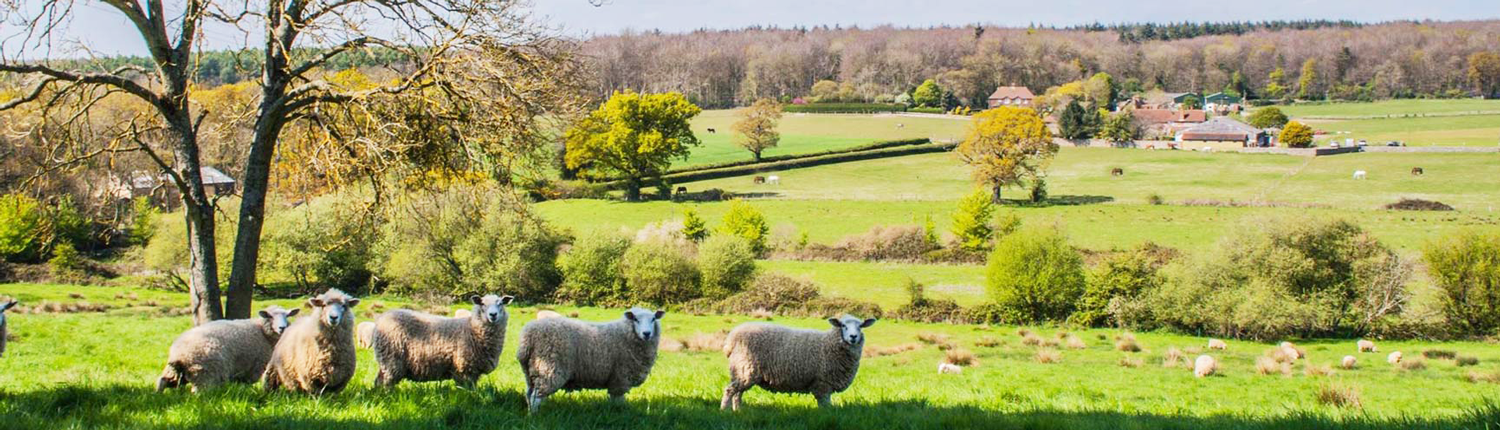 sheep grazing at selden farm campsite in west sussex